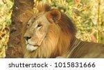 lion looking regal standing ... | Shutterstock . vector #1015831666
