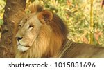 lion looking regal standing ... | Shutterstock . vector #1015831696