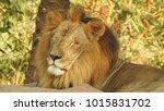 lion looking regal standing ... | Shutterstock . vector #1015831702