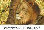 lion looking regal standing ... | Shutterstock . vector #1015831726