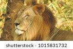 lion looking regal standing ... | Shutterstock . vector #1015831732