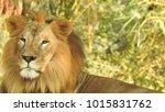 lion looking regal standing ... | Shutterstock . vector #1015831762