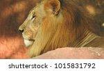 lion looking regal standing ... | Shutterstock . vector #1015831792