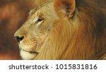 lion looking regal standing ... | Shutterstock . vector #1015831816