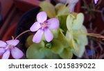 pinguicula carnivorous plants...   Shutterstock . vector #1015839022