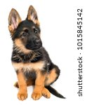 Stock photo a beautiful puppy is the german shepherd isolated on a white background fluffy dog close up of 1015845142
