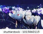 Crocuses With White And Purple...