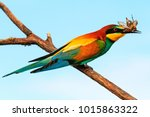 european bee eater with a... | Shutterstock . vector #1015863322