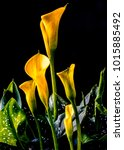 Small photo of Zantedeschia aethiopica, calla lily, It is a rhizomatous herbaceous perennial plant, evergreen where rainfall and temperatures are adequate
