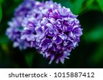 lilac flowers of lilac   Shutterstock . vector #1015887412