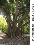 Small photo of Monumental old liana tree with entangled roots at Maria Luisa Park (Parque de María Luisa) in Seville, Andalusia, Spain.
