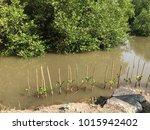Small photo of Afforestation Rhizophora Mangle, nature conserve the world concept