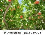 Peach Orchard In Yamanashi
