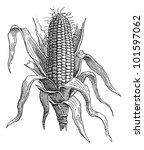 Corn Or Zea Mays  Showing Ear ...