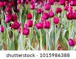 beautiful tulips in tulip field ... | Shutterstock . vector #1015986388