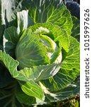 cabbage salad green vegetable... | Shutterstock . vector #1015997626