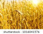 wheat field. ear. harvest. agro ... | Shutterstock . vector #1016041576