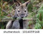The Close Up Of Tasmanian...