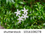 four white flowers growth on... | Shutterstock . vector #1016108278
