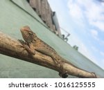 changeable lizard on the timber | Shutterstock . vector #1016125555