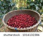 fresh coffee bean in basket | Shutterstock . vector #1016132386