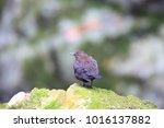 brown dipper  cinclus pallasii  ... | Shutterstock . vector #1016137882