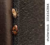 Small photo of Cimex lectularius or bed bug changed skin