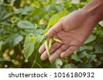 man picking chili peppers in a... | Shutterstock . vector #1016180932