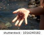 woman holding a fresh caught...   Shutterstock . vector #1016240182