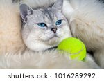 Stock photo the cat scottish fold chinchilla coloring with ball for tennis 1016289292