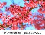 himalayan cherry  prunus... | Shutterstock . vector #1016329222