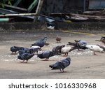 dove eatting on concrete... | Shutterstock . vector #1016330968