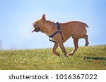 happy excited french bulldog... | Shutterstock . vector #1016367022