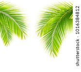 coconut leaves on a white...   Shutterstock . vector #1016384812