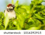 male or female house sparrow or ... | Shutterstock . vector #1016392915