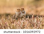 male or female house sparrow or ... | Shutterstock . vector #1016392972