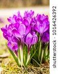 crocus  plural crocuses or...   Shutterstock . vector #1016426392
