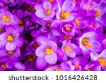 crocus  plural crocuses or...   Shutterstock . vector #1016426428
