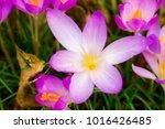 crocus  plural crocuses or...   Shutterstock . vector #1016426485