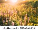 Wild Bloomy Flowers Lupine In...