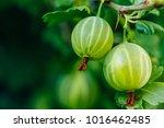 Fresh Green Gooseberries....