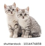 Stock photo two gray cat isolated on a white background 1016476858