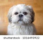 shih tzu dog breeds. sweet... | Shutterstock . vector #1016493922