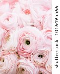 Small photo of Beautiful blossoming pink ranunculus flower vertical texture