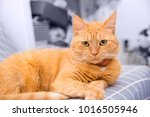 cute red cat   Shutterstock . vector #1016505946