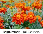 the red zinnia flower are... | Shutterstock . vector #1016541946