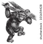 Common Chimpanzee  Pan...