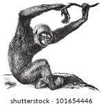 ágil,antigua,mono,ilustración,fondo,negro,criatura,dibujo,dibujado,en peligro de extinción,grabado,grabado,aguafuerte,bosque,fruta
