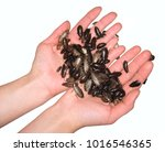 handful of bugs. cupped hands... | Shutterstock . vector #1016546365