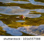 brown trout rising to a may fly ... | Shutterstock . vector #1016557588